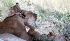Lioncubsandmom2